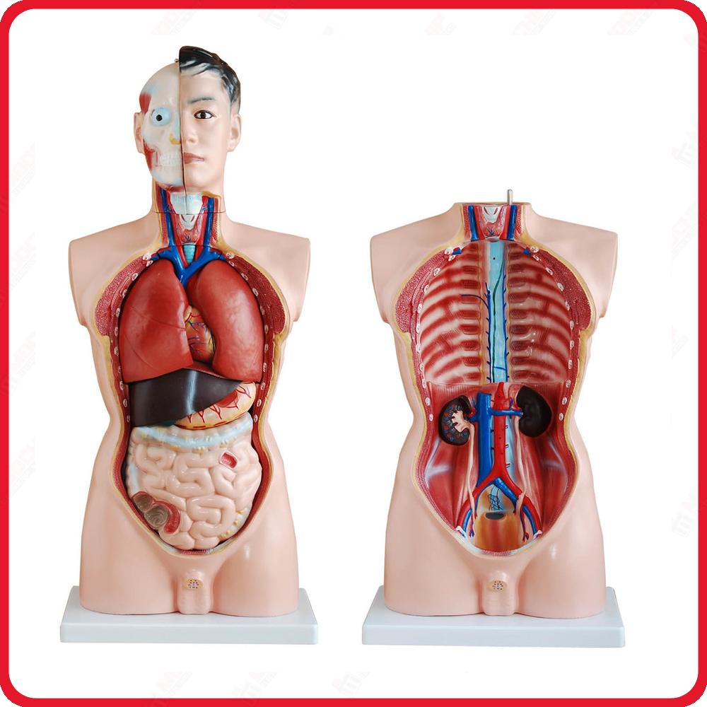 modele anatomique et corps squelette humain 3d